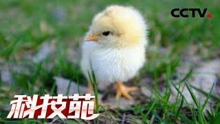 《科技苑》 20190605 关禁闭 建别墅 就为太行鸡| CCTV农业
