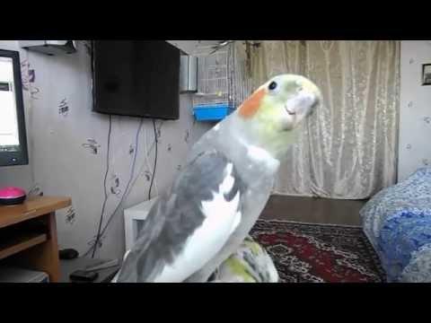 смешно, самка кореллы пытается разговаривать:))