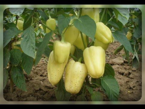 Выращиваем сладкий перец.
