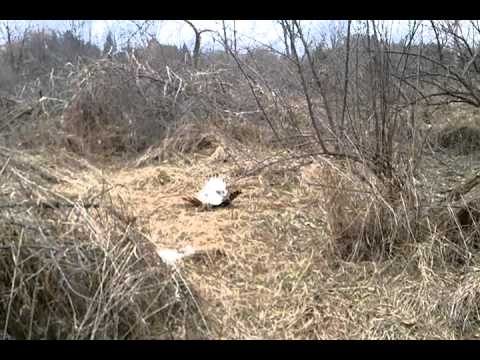 how to catch a hawk in a trap