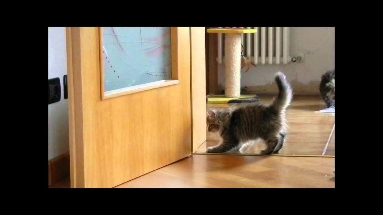 Cuccioli Gatti Norvegesi Delle Foreste W Le Fusa Youtube
