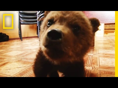 Thumbnail: Watch: Adorable Baby Brown Bear Rescued | National Geographic