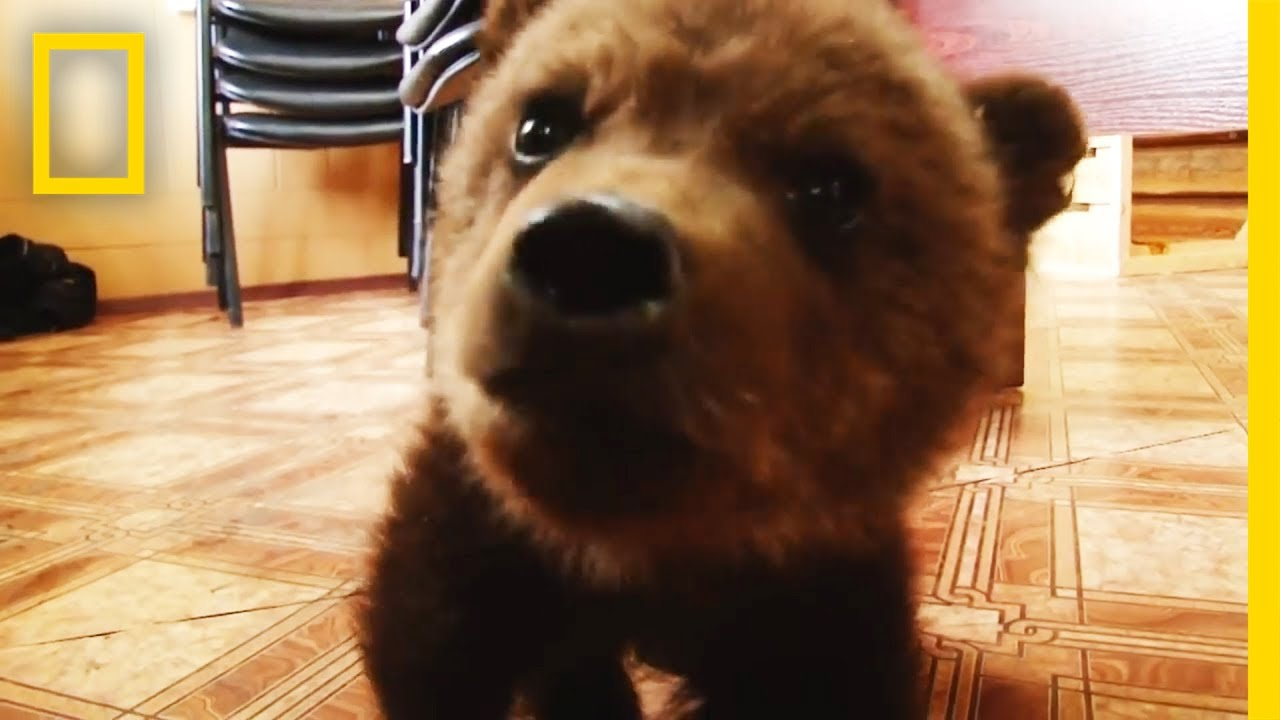 Adorable Baby Brown Bear Rescued National Geographic Youtube