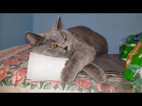 IDOL British Shorthair cat: COMFORT IS THE BASIS HD