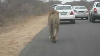 Lion walking down road in the Kruger Park, South Africa