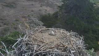Sauces Bald Eagles - Channel Islands Cam 06-18-2018 10:09:13 - 11:09:14