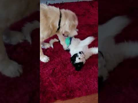 Golden Retriever playing with our new Portuguese water dog