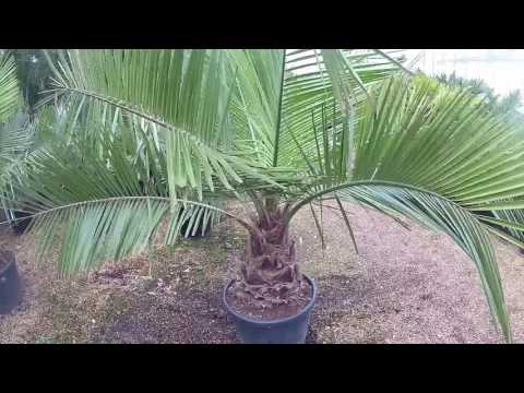 Large Jubaea chilensis at Big Plant Nursery in West Sussex, UK