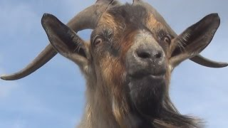 dealing with goat horns