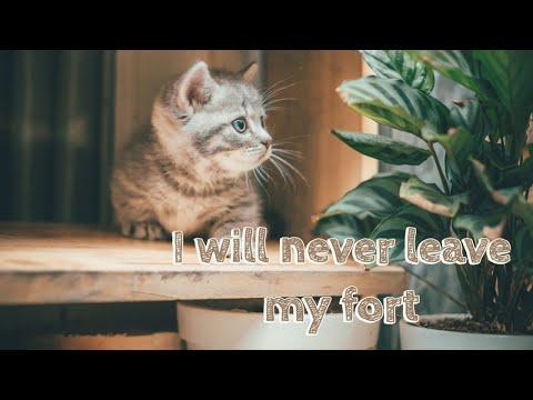 Mèo con chân ngắn siêu cute| Blue tabby Munchkin kitten protects his fort