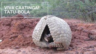 Nessa edição do Viva caatinga! você vai conhecer o Tatu-Bola. Essa ...