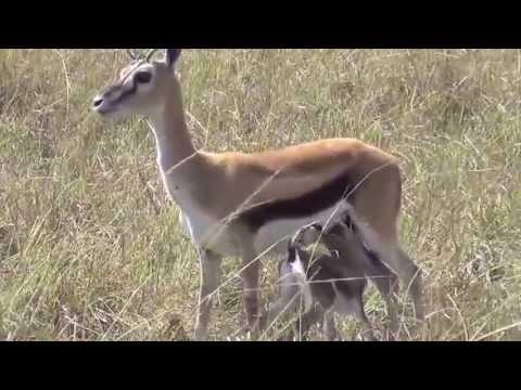 Thomson's Gazelle w/new Fawn Maasai Mara