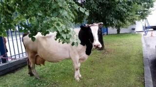 Корова на фото и видео- сессию. 8916 702 11 08