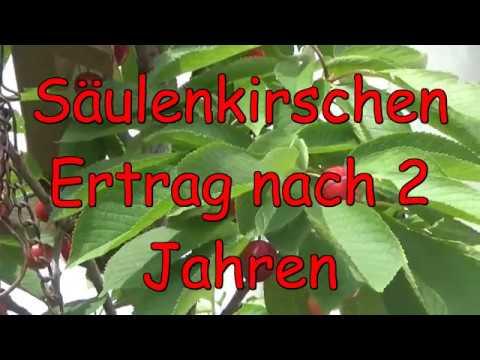 Top Säulenkirschen Ertrag nach 2 Jahren! Kirschbaum im Kübel! Kirschen PM32