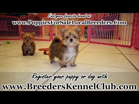 Morkie, Puppies, Dogs, For Sale, In Tucson, Arizona, AZ, 19Breeders, Glendale, Surprise