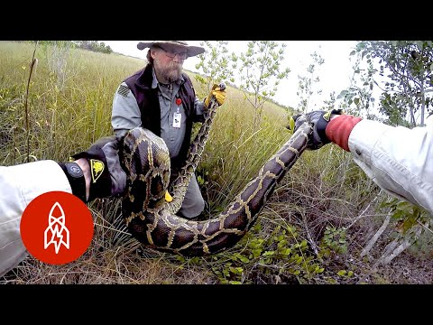 Why Military Veterans Are Hunting Pythons in the Everglades
