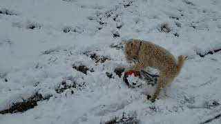 Lakeland Terrier playing in snow