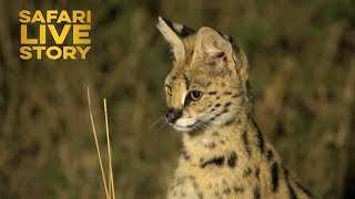 Serval Cats of the Maasai Mara thumbnail