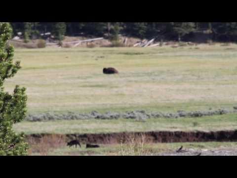Yellowstone Wolves - May 2017