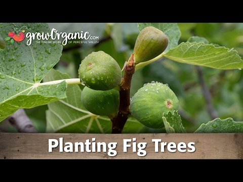 Planting Organic, Potted, Fig Trees