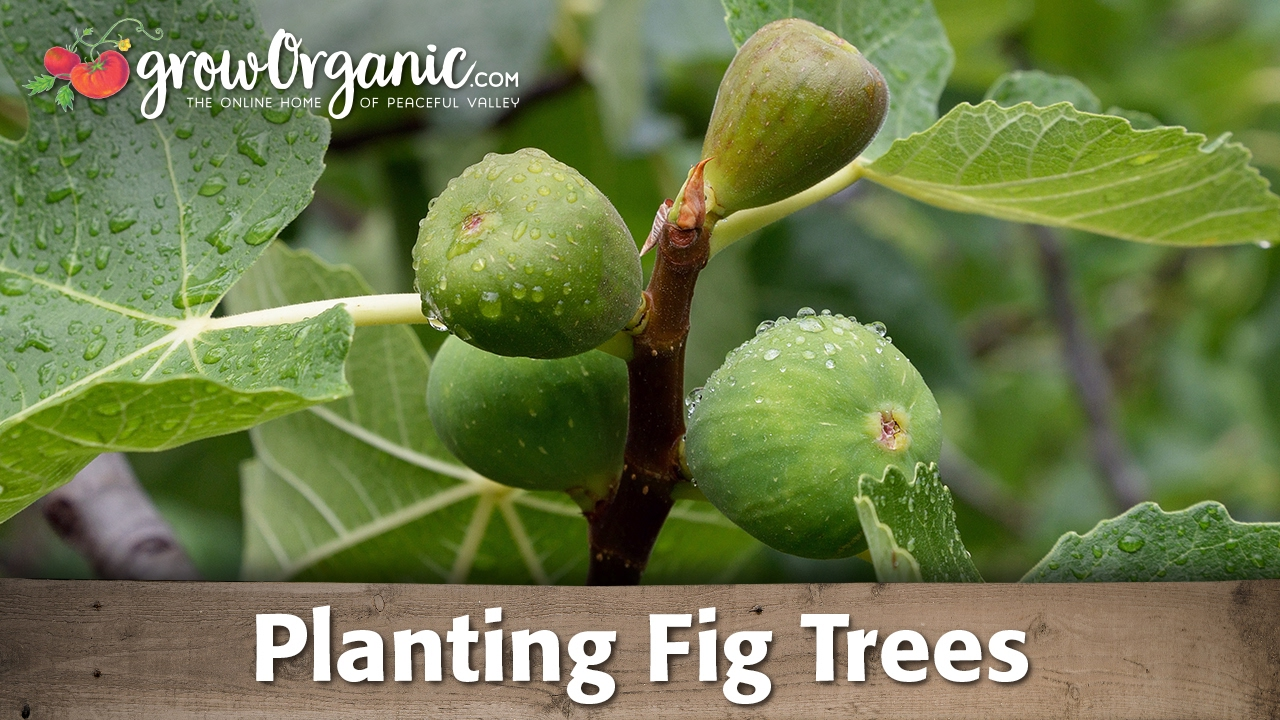 Planting Organic Potted Fig Trees You