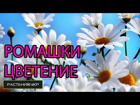 Садовая ромашка / Когда цветёт ромашка?