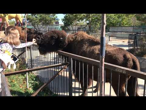 Как бизоны фыркают и топка Федора /buffalo