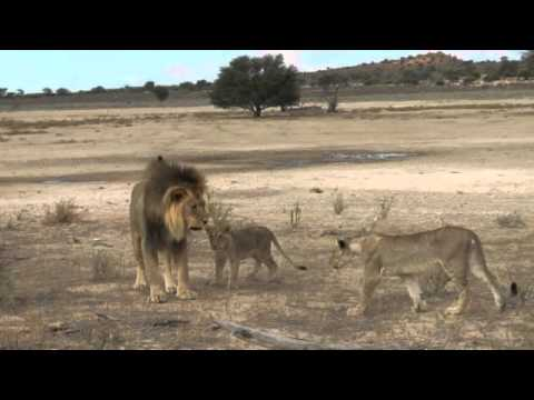 Lion and cubs playing