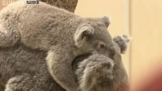 あなたの1票でコアラの名前が決まる! 王子動物園で投票受け付け中