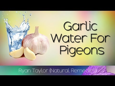 Garlic Water: For Racing Pigeons