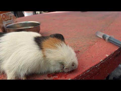 Pet Guinea Pig Treatment in home with ORS