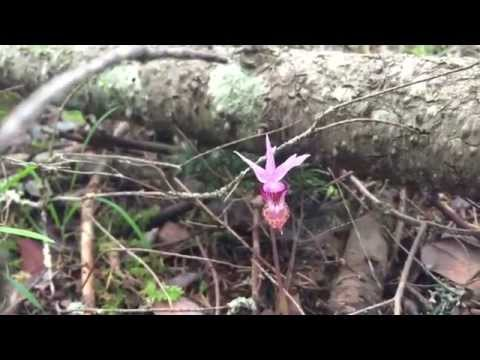 ORCHID HUNTER: A SEARCH FOR WILD ORCHIDS OF CANADA