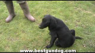 Gun Dog Training (pre-training Week 3)