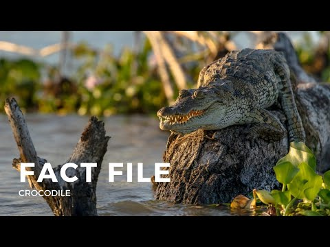 Facts about the Crocodile