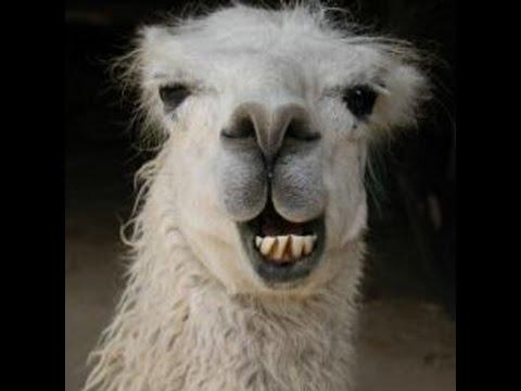 MC - Feeding a llama dirt for 1 hour.