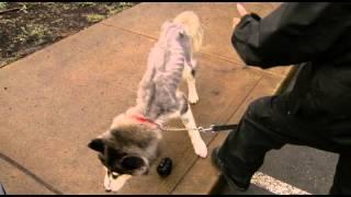 Spca Seeks Owner Of Emaciated Siberian Husky