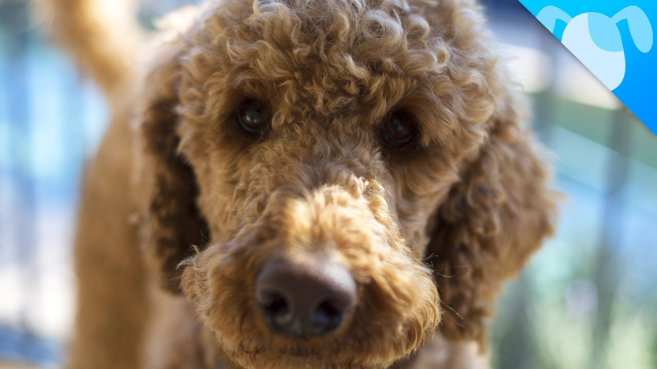Labradoodle Dogs 101 - A Complete Guide About Mini Labradoodle