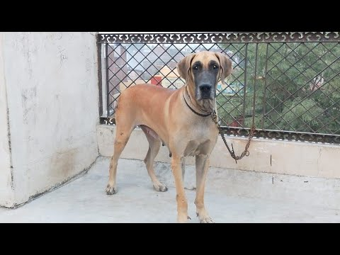 Large Breed ∆Great Dane Adult female