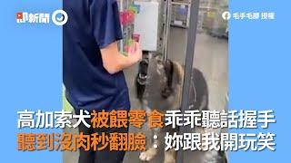 高加索犬被餵零食乖乖聽話握手!聽到沒肉秒翻臉|寵物