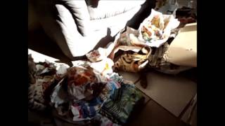 Savannah Cat TV - Serval and Savannah Cat playing with newspapers