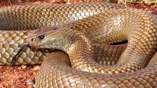Эта змея впрыскивает больше всего яда ! Мулга Или Коричневый Король