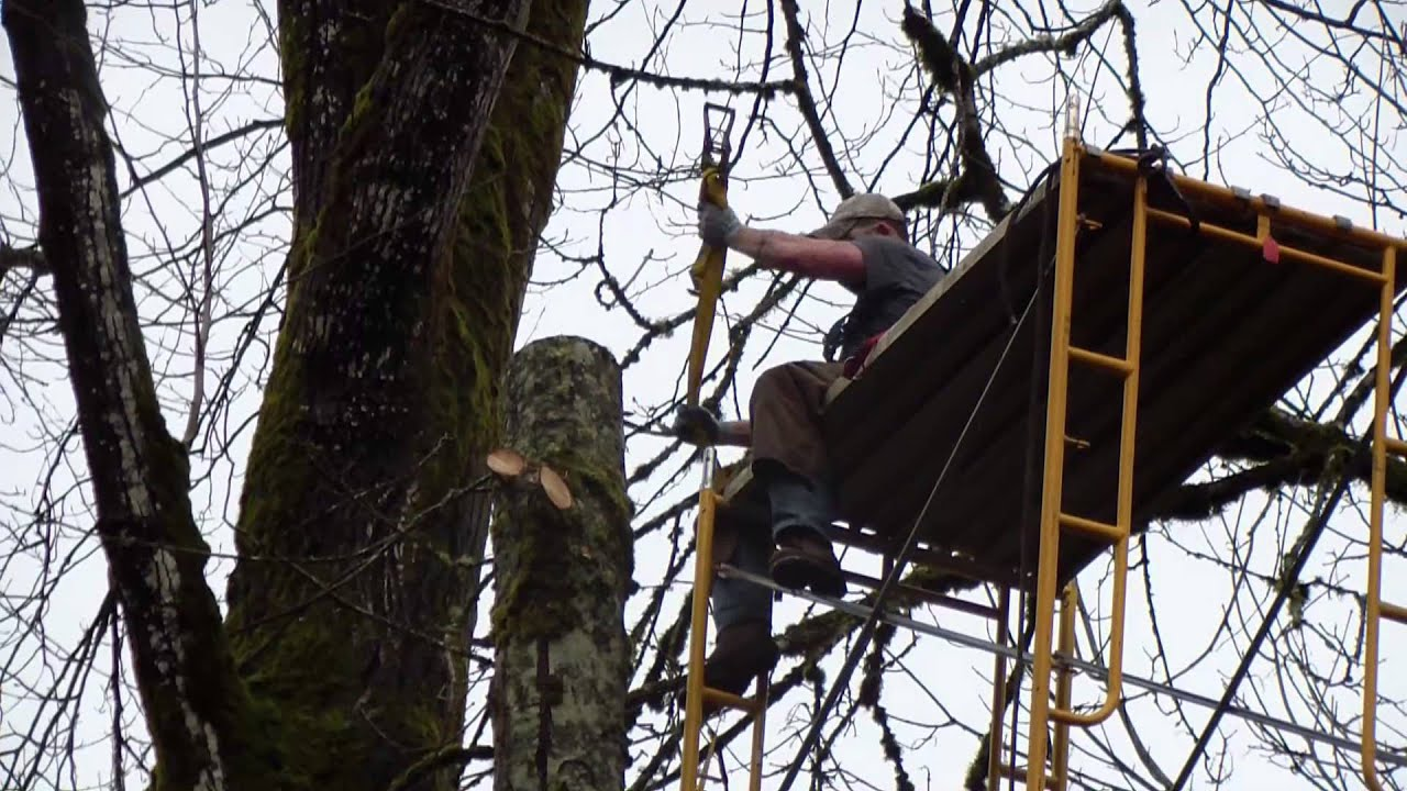 Topping A Tree With Scaffolding Youtube