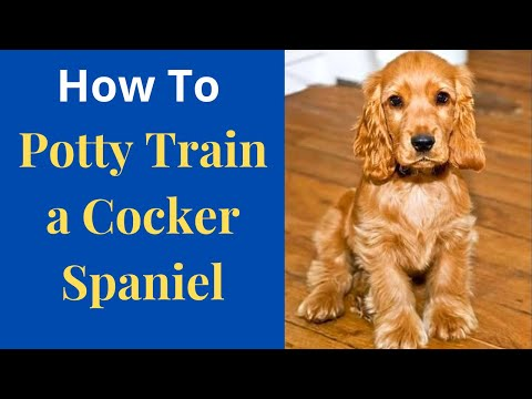 How to easily potty train Cocker Spaniels? Easy yet Effective method