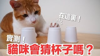 實測-貓咪會猜杯子嗎-蛋捲天才神話破滅-好味貓日常-ep47