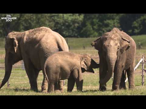 Meet the Elephants at ZSL Whipsnade Zoo