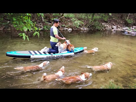 i'll-row,-you-row-your-tails-😚8-corgis-&-paddleboards,-the-first-3-days'-record.