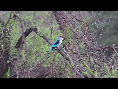 Call Of The Woodland Kingfisher