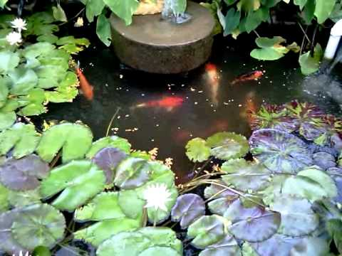 Koi & Waterlilies