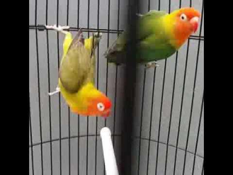 Unduh 77  Gambar Burung Lovebird Nyasa  Terbaik Gratis