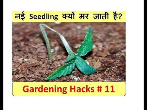 सीडलिंग्स (Seedlings) क्यों मर जाती हैं ! Seedlings damping off